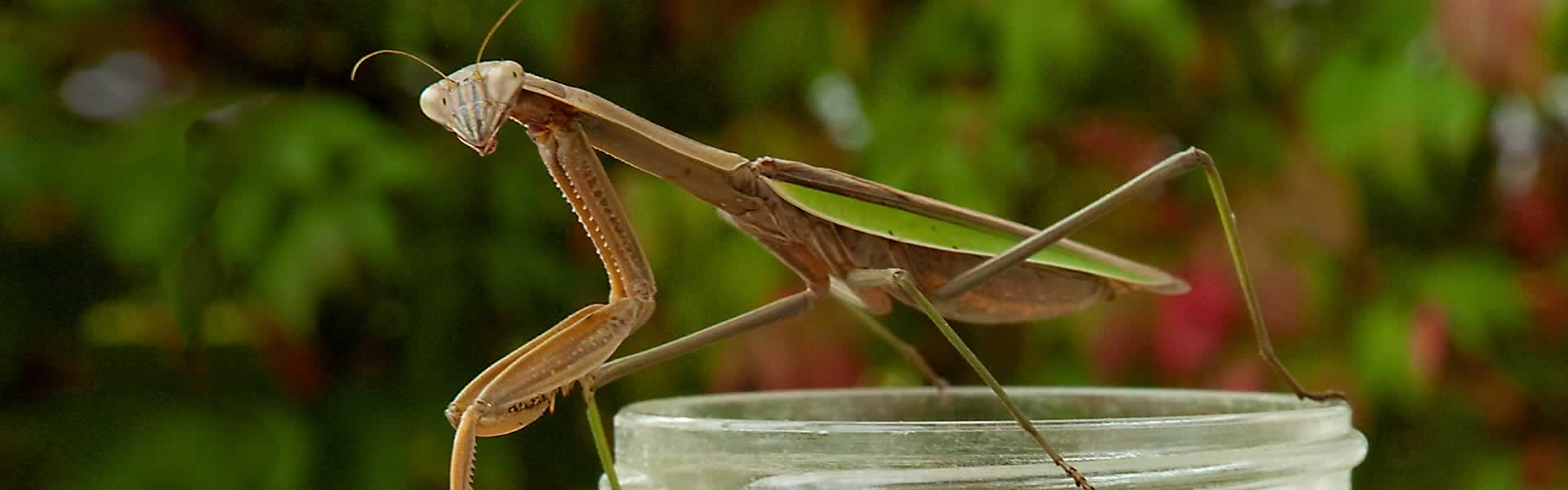 Praying Mantis Pettisville 2011